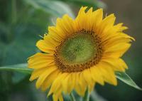 Семена подсолнечника Родник от 100 кг