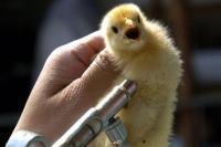 Прививки птиц