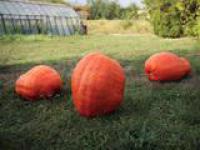 Семена тыквы Голиаш