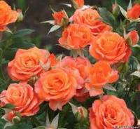 Саженцы розы Алегрия