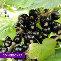 Саженцы смородины черной Софиевская, Опт
