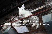 Кролики Термонские белые