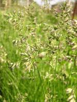 Семена мятлика