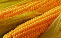 Семена кукурузы Солонянський, Билозирский, Шаланда, Одесский, Любава