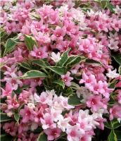 Саженцы вейгелы цветущей