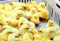Услуги инкубации птиц