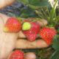 Клубника: посадка и выращивание