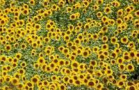 Семена подсолнечника ФРАГМЕНТ (евролайтинг)
