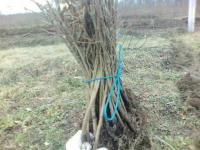 Саджанці дуба звичайного