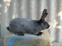 Кролики Сріблястий, Білий панон
