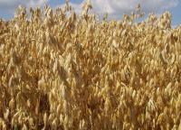 Семена овса голозерного Самуэль. 1 репродукция