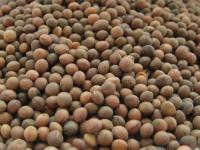 Семена Яровой Посевной Вики. Сорт Белоцерковская