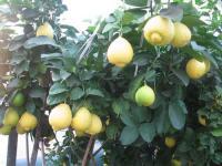 """Саженцы крупноплодного лимона """"Юбилейный"""""""