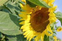 Семена подсолнечника гибриды Меркурий, ЯН, Одиссей, Экстра и стандарт