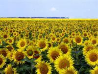 Семена подсолнечника Рекольд (Експрес 75%)