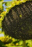 Семена подсолнечника Маисадур МАС 82.А, Maisadour MAS 82.A