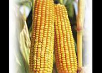 Семена кукурузы Евралис ЕС Геллери ФАО 340