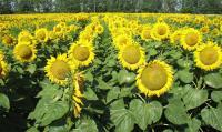 Семена подсолнечника Дунай Нови Сад (Сербия)