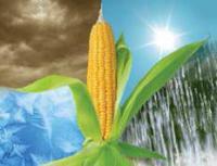 Кукурудза СИ Топмен (ФАО 250)