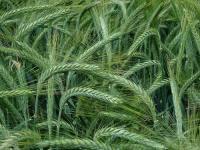 Семена озимого тритикале Раритет