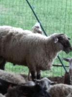 Продам рем-баранов производителей породы олипс, суфолк