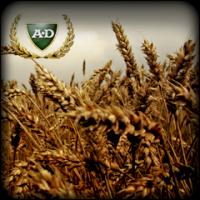 Пшеница двуручка Леннокс