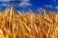 Семена - озимый сорт твердой пшеницы БОГДАНА - элита