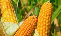 Семена кукурузы Белкорн 260 МВ НОВЫЙ ин-т им. Юрьева ФАО 260