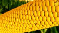 Семена кукурузы Дмитрик НОВЫЙ ин-т им. Юрьева ФАО 260 Пищевая Сахарная