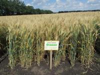 Пшениця озима м'яка Отаман