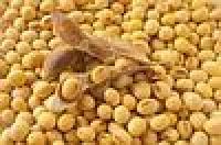 Семена сои SEDNA Канадский трансгенный сорт - элитный гибрид