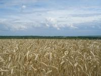 Насіння озимої пшениці Благодарка одеська РН-1