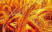 Семена KANMOR (Кенмор) Канадский озимый трансгенный сорт пшеницы элита, 80 кг норма высева