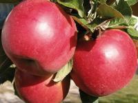 Саженцы яблони Женева