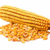 Семена кукурузы НС-3033 Нови Сад (Сербия)