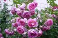 Саженцы розы Жасмин