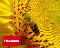Семена подсолнечника НС Ромео новинка Нови Сад (Сербия)