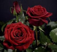 Саженцы розы Чорная Магия