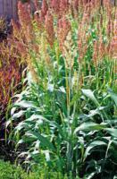 Семена сорго веничное от 100 кг