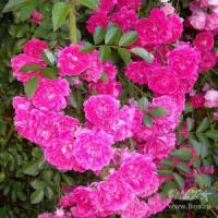 Саженцы розы Эксцельза