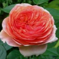 Саженцы розы Чип и Дейл