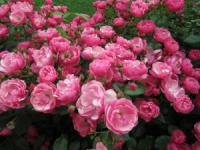 Саженцы розы Моцарт
