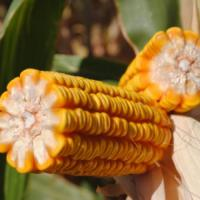 Семена кукурузы НС-2612 Нови Сад (Сербия)