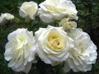 Саженцы розы Шрнеевальзе