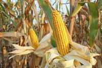 Семена кукурузы НС-2040 Нови Сад (Сербия)
