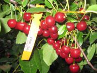 Саженцы вишни Юбилейная