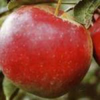 Саженцы яблони Джонаголд Кинг