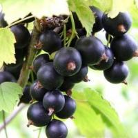 Саджанці чорноі смородини