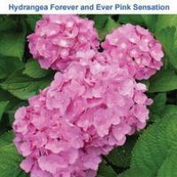 Гортензия Forever and Ever Pink Sensation
