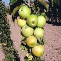 Саженцы колоновидной яблони Малюха